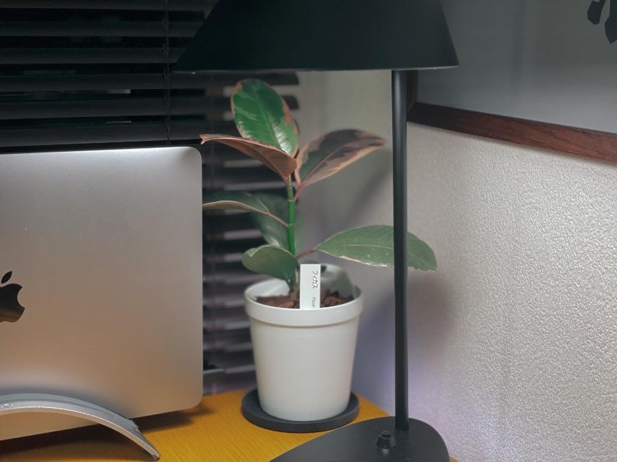 フィカス 観葉植物アクアテラポッド